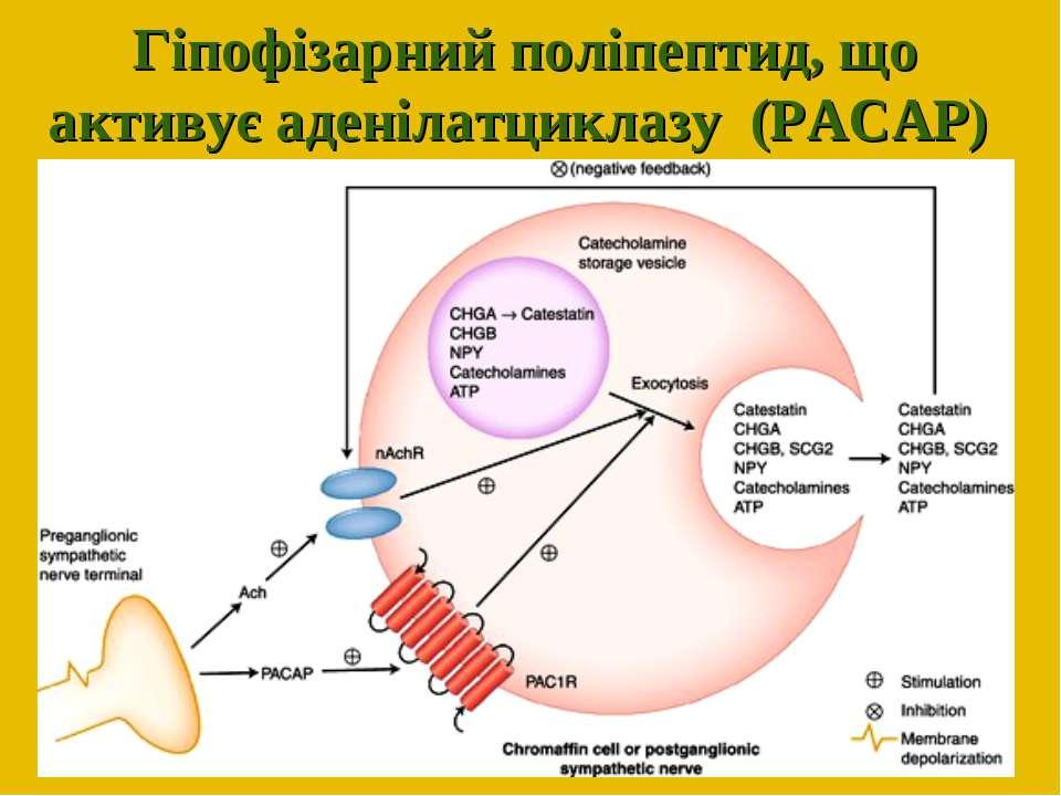 Гіпофізарний поліпептид, що активує аденілатциклазу (PACAP)