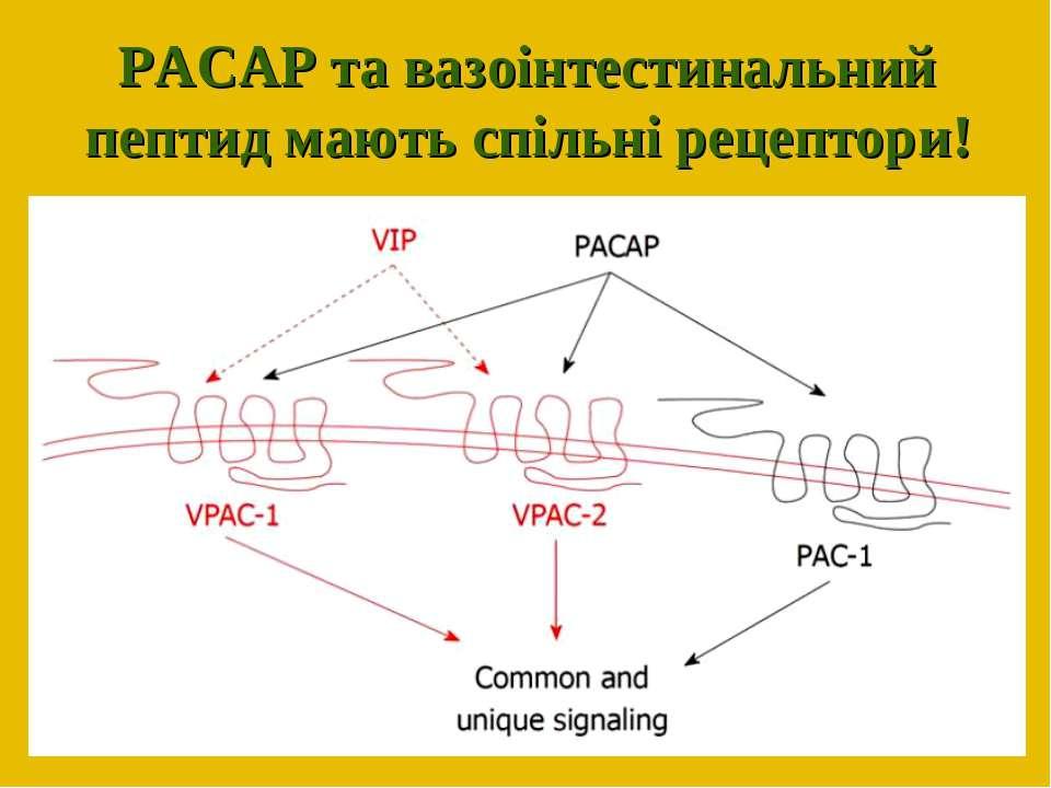РАСАР та вазоінтестинальний пептид мають спільні рецептори!