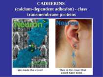 CADHERINS (calcium-dependent adhesion) - class transmembrane proteins