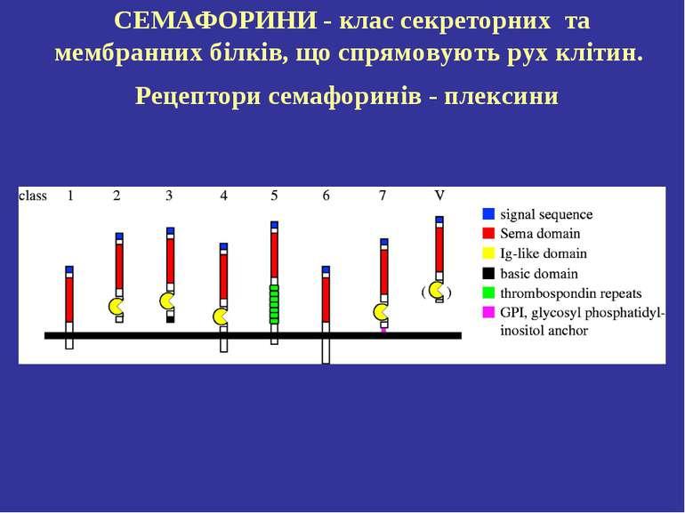 СЕМАФОРИНИ- клас секреторних та мембранних білків, що спрямовують рух клітин...