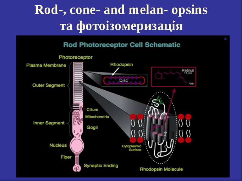 Rod-, cone- and melan- opsins та фотоізомеризація
