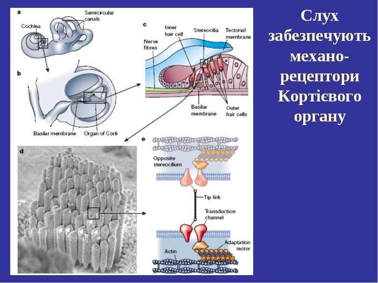 Слух забезпечують механо-рецептори Кортієвого органу