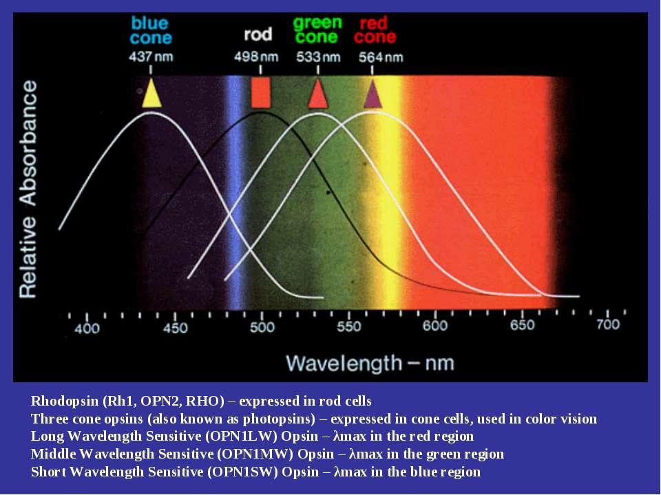 Rhodopsin (Rh1, OPN2, RHO) – expressed in rod cells Three cone opsins (also k...