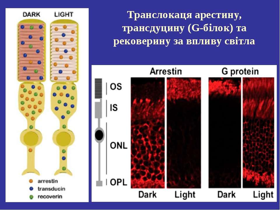 Транслокаця арестину, трансдуцину (G-білок) та рековерину за впливу світла