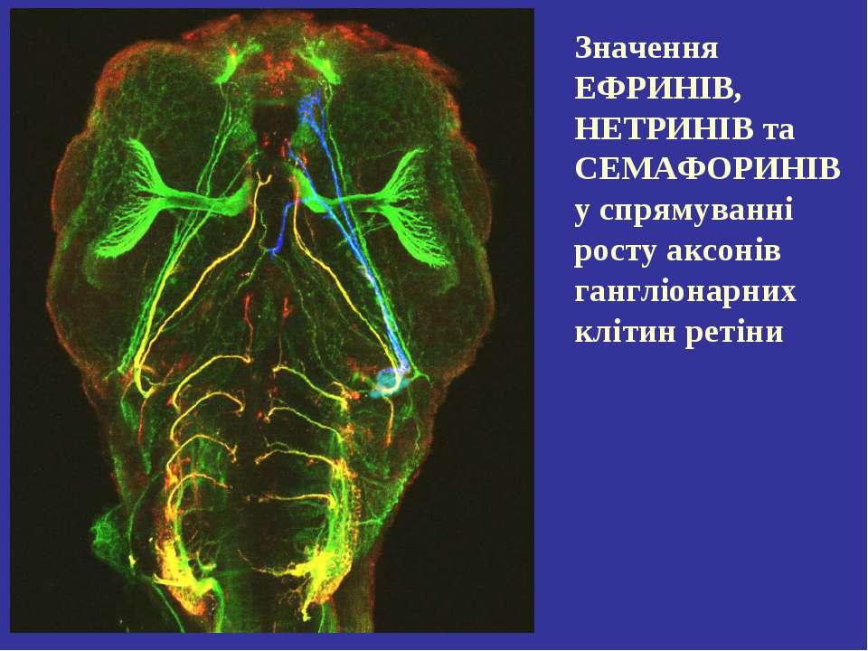 Значення ЕФРИНІВ, НЕТРИНІВ та СЕМАФОРИНІВ у спрямуванні росту аксонів гангліо...