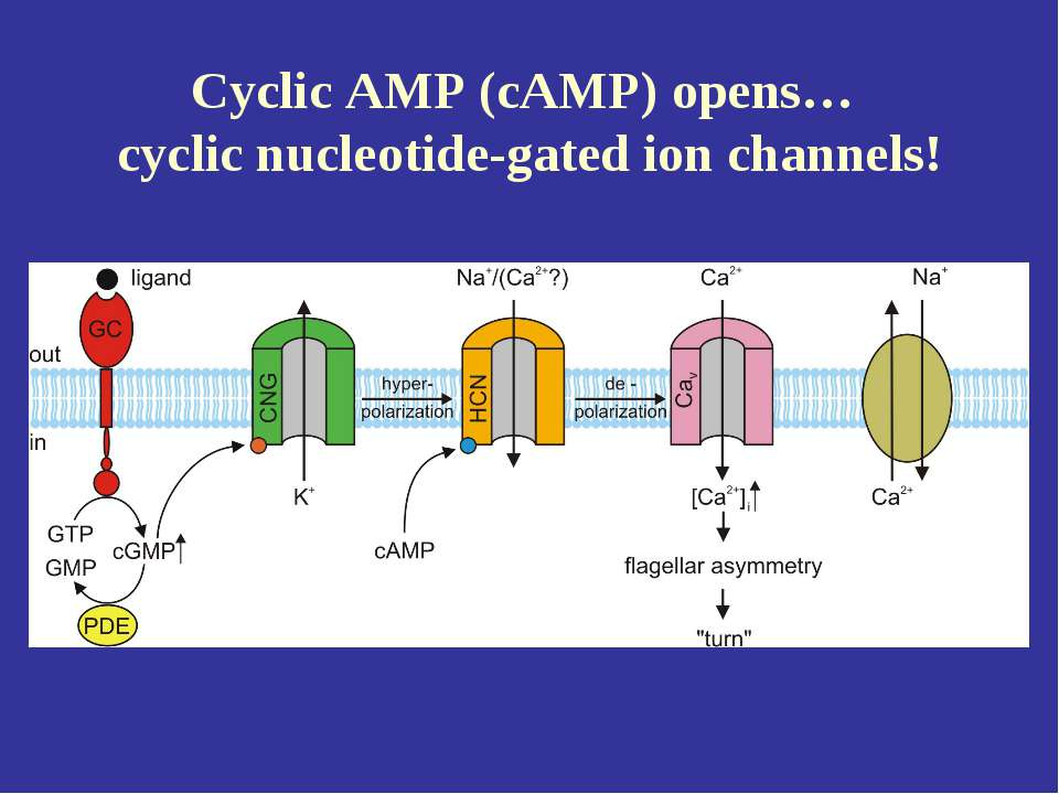 Cyclic AMP (cAMP) opens… cyclic nucleotide-gated ion channels!