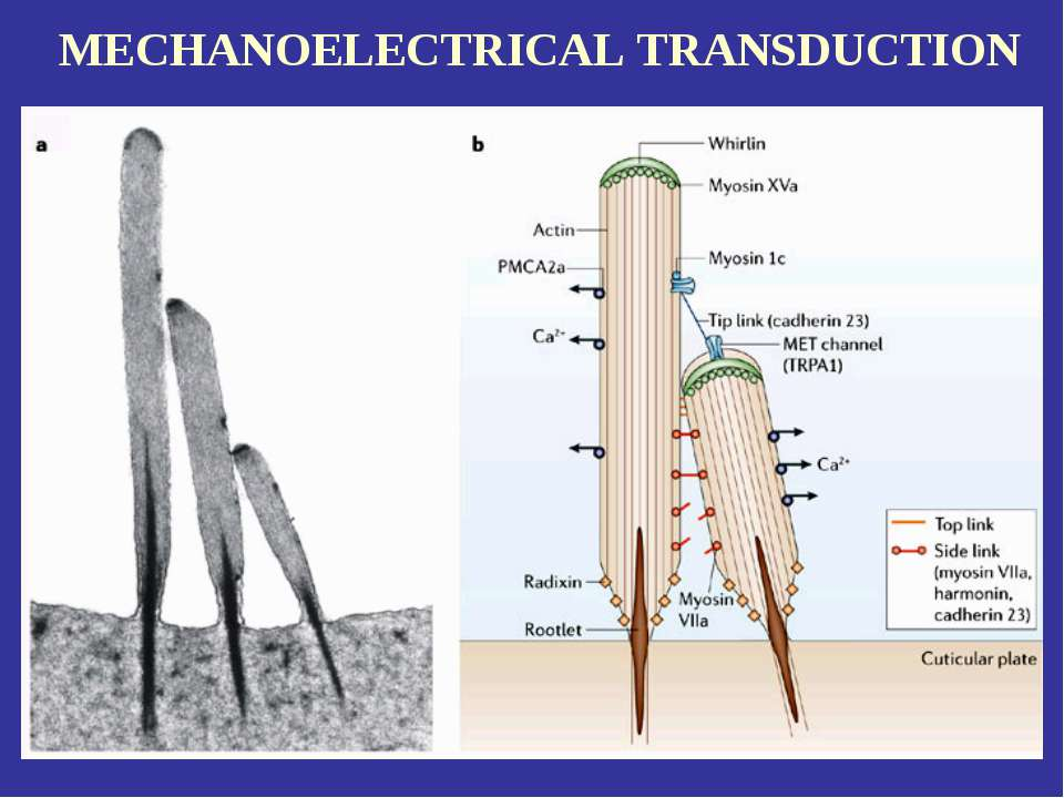 MECHANOELECTRICAL TRANSDUCTION