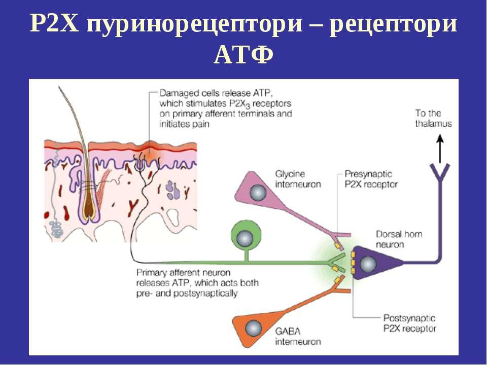 P2X пуринорецептори – рецептори АТФ