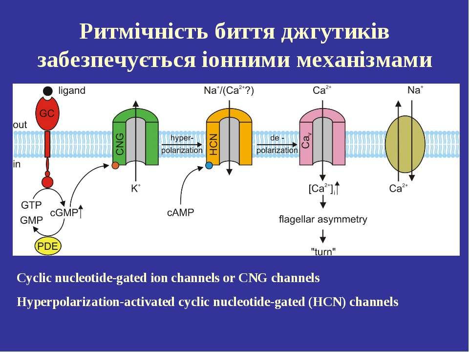 Ритмічність биття джгутиків забезпечується іонними механізмами Cyclic nucleot...