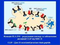 CLIP-Class II-associated invariant chain peptide Функція HLA-DM – редагуван...