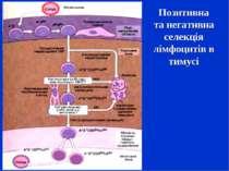 Позитивна та негативна селекція лімфоцитів в тимусі