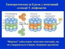 """Тимопротеасома та її роль у позитивній селекції Т-лімфоцитів """"Нарізка"""" унікал..."""