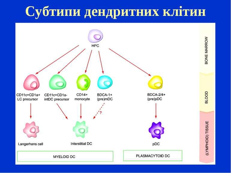 Субтипи дендритних клітин