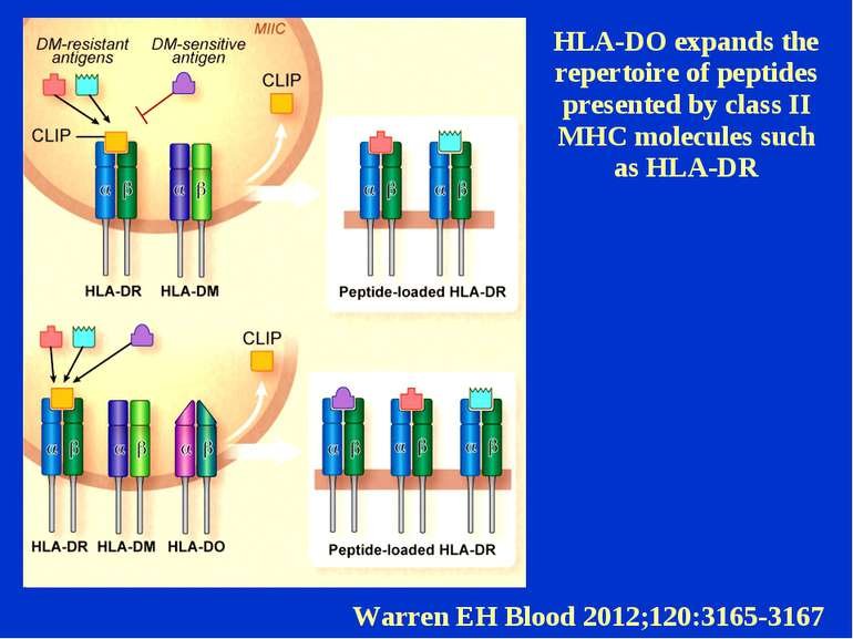 HLA-DO expands the repertoire of peptides presented by class II MHC molecules...