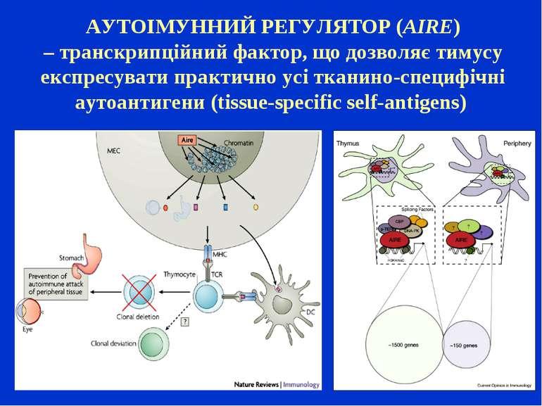 АУТОІМУННИЙ РЕГУЛЯТОР (AIRE) –транскрипційний фактор, що дозволяє тимусу екс...