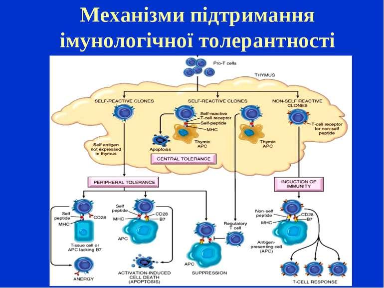 Механізми підтримання імунологічної толерантності