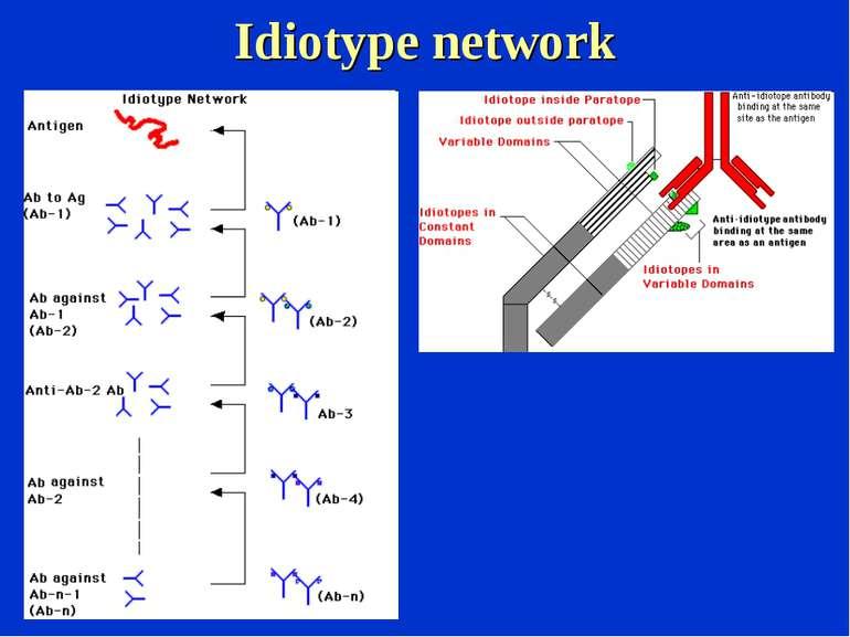 Idiotype network