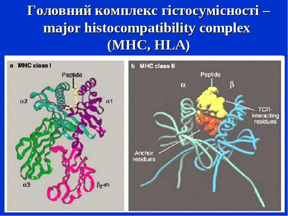 Головний комплекс гістосумісності – major histocompatibility complex (MHC, HLA)
