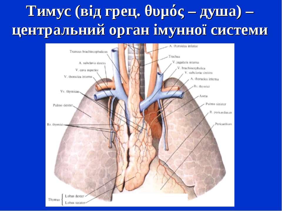 Тимус (від грец. θυμός – душа) – центральний орган імунної системи