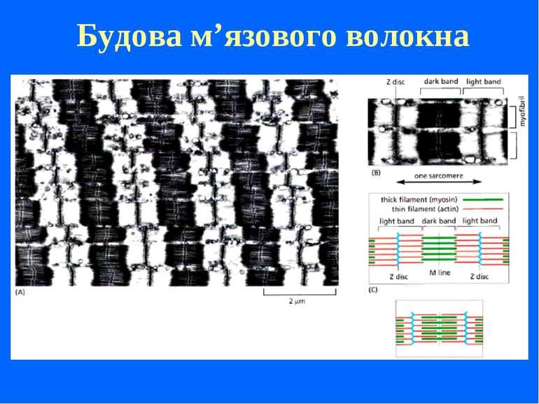 Будова м'язового волокна