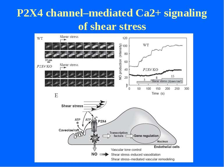 P2X4 channel–mediated Ca2+ signaling of shear stress