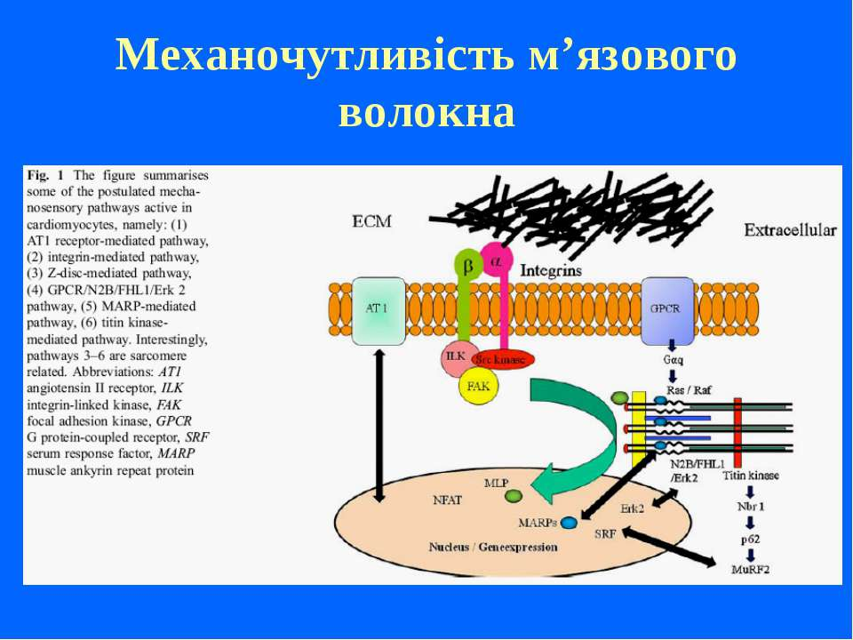 Механочутливість м'язового волокна