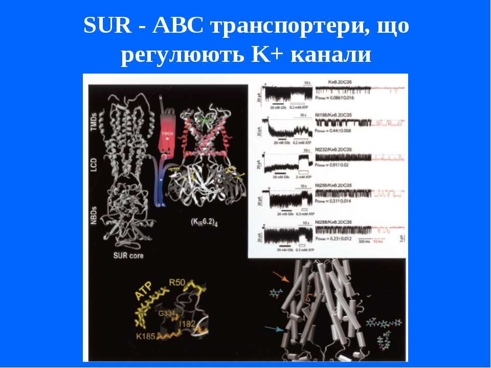 SUR - ABC транспортери, що регулюють K+ канали
