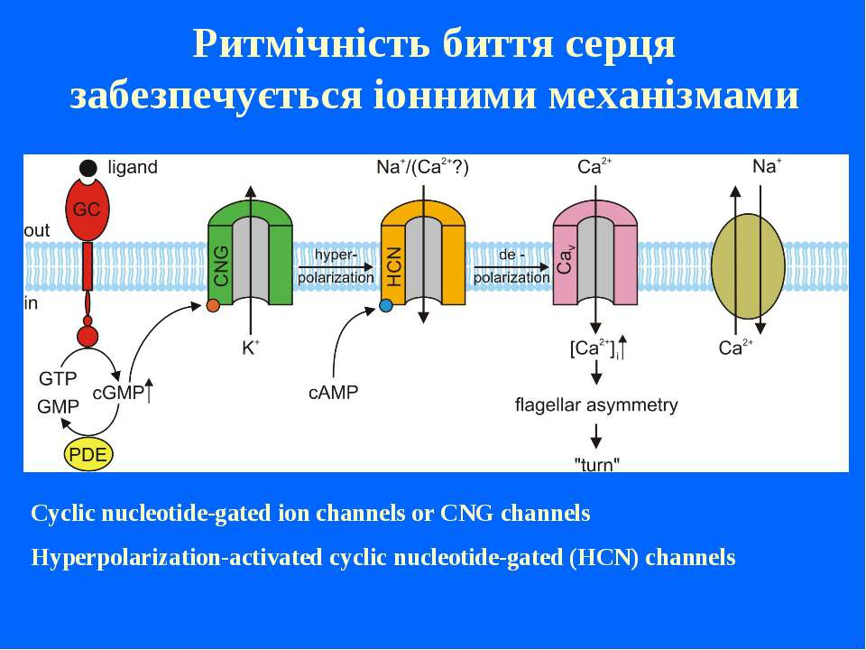 Cyclic nucleotide-gated ion channels or CNG channels Hyperpolarization-activa...