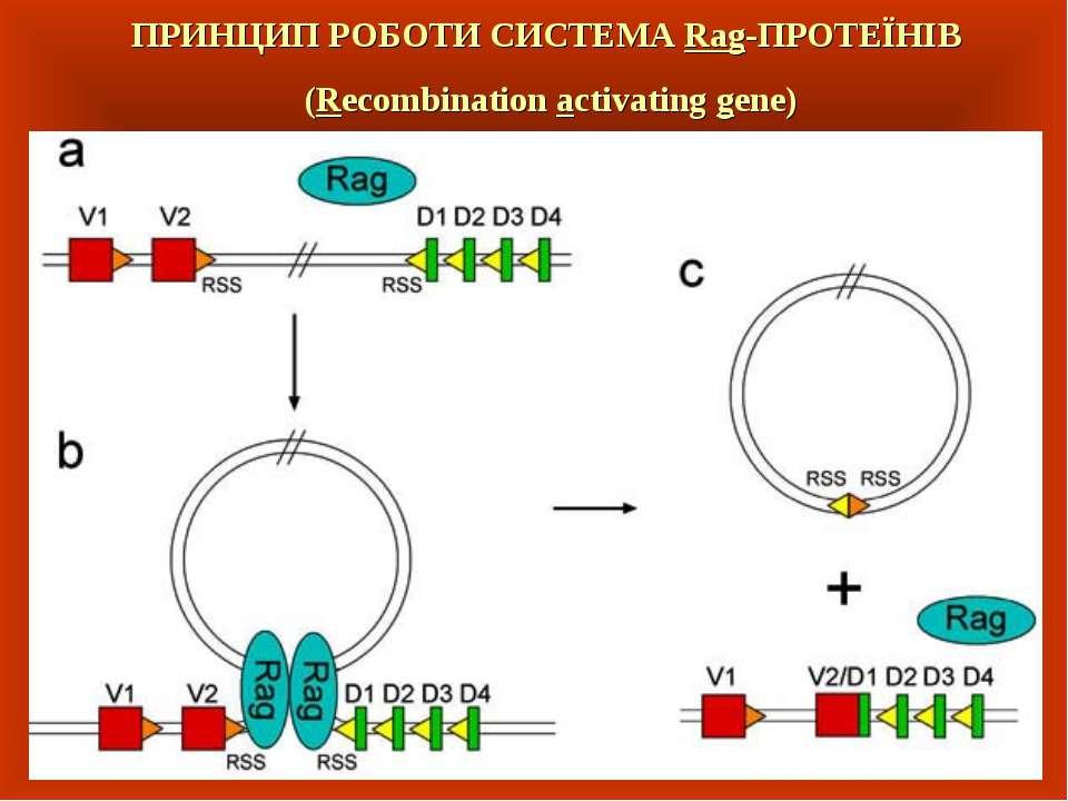 ПРИНЦИП РОБОТИ СИСТЕМА Rag-ПРОТЕЇНІВ (Recombination activating gene)