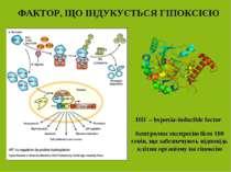 ФАКТОР, ЩО ІНДУКУЄТЬСЯ ГІПОКСІЄЮ HIF – hypoxia-inducible factor Контролює екс...
