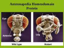 Antennapedia Homeodomain Protein