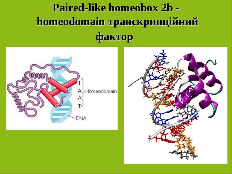 Paired-like homeobox 2b - homeodomainтранскрипційний фактор