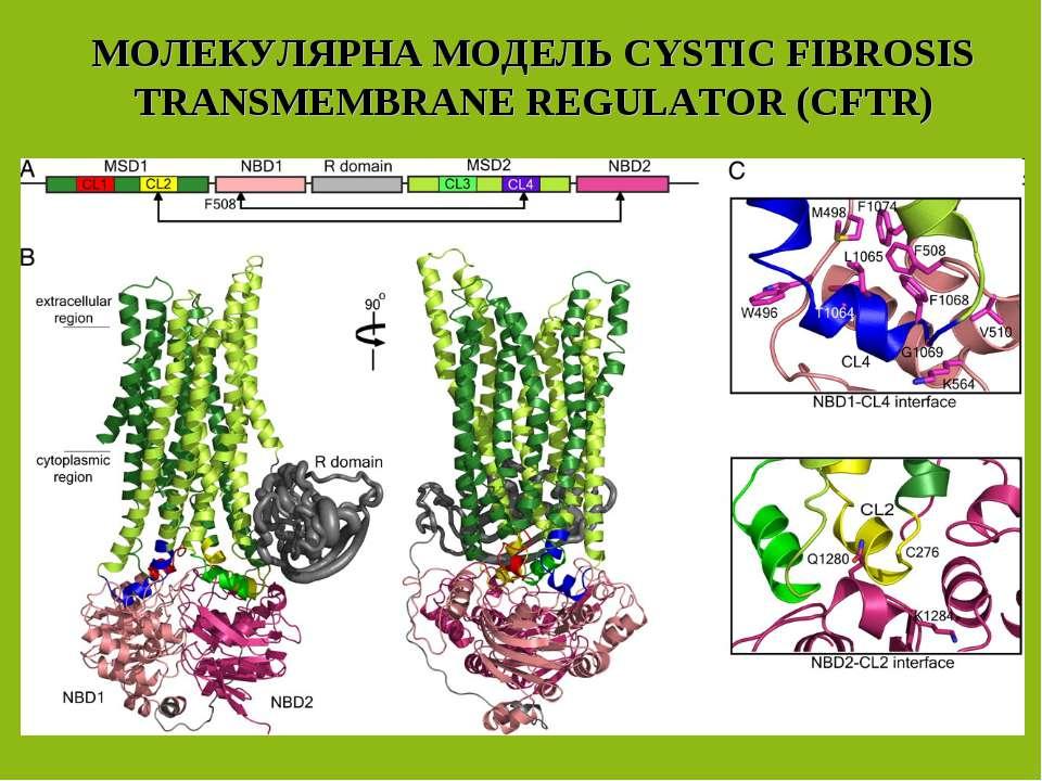 МОЛЕКУЛЯРНА МОДЕЛЬ CYSTIC FIBROSIS TRANSMEMBRANE REGULATOR (СFTR)