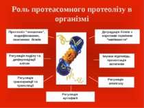 """Роль протеасомного протеолізу в організмі Протеоліз """"зношених"""", модифікованих..."""