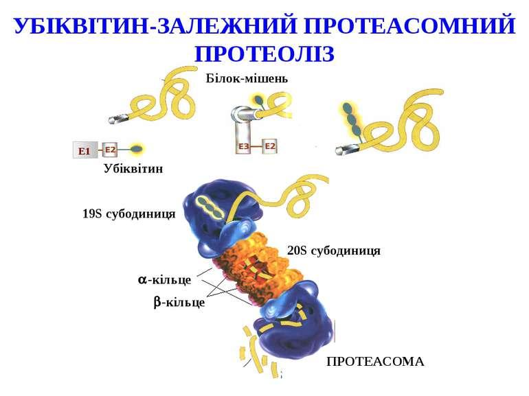 Білок-мішень Убіквітин E1 ПРОТЕАСОМА 20S cубодиниця -кільце -кільце 19S cубод...