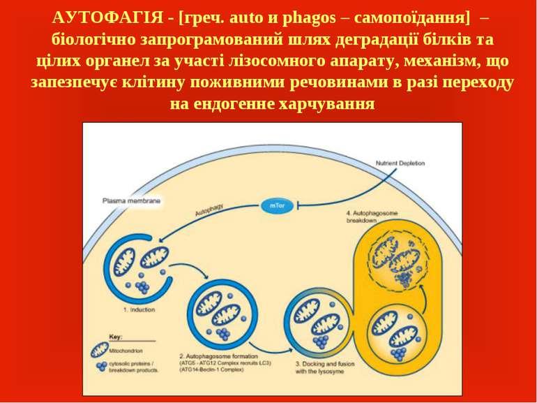 АУТОФАГІЯ - [греч. auto и phagos – самопоїдання] – біологічно запрограмований...