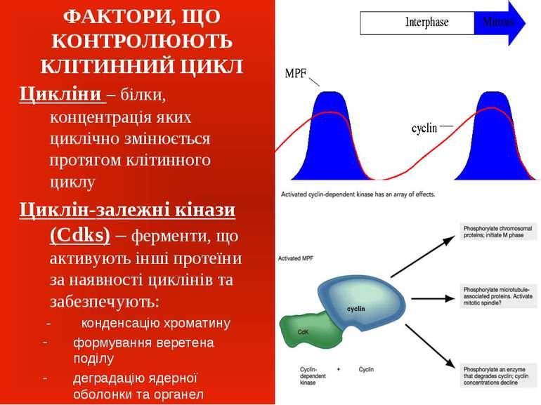 ФАКТОРИ, ЩО КОНТРОЛЮЮТЬ КЛІТИННИЙ ЦИКЛ Цикліни – білки, концентрація яких цик...