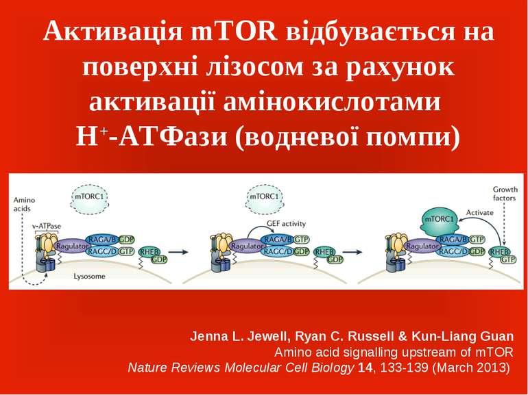 Активація mTOR відбувається на поверхні лізосом за рахунок активації амінокис...