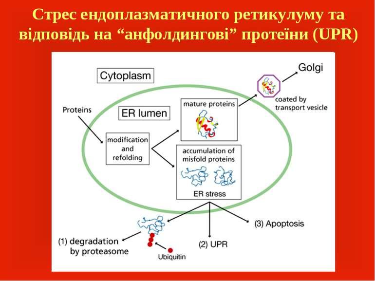 """Стрес ендоплазматичного ретикулуму та відповідь на """"анфолдингові"""" протеїни (UPR)"""
