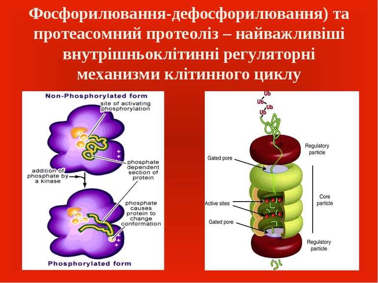 Фосфорилювання-дефосфорилювання) та протеасомний протеоліз – найважливіші вну...