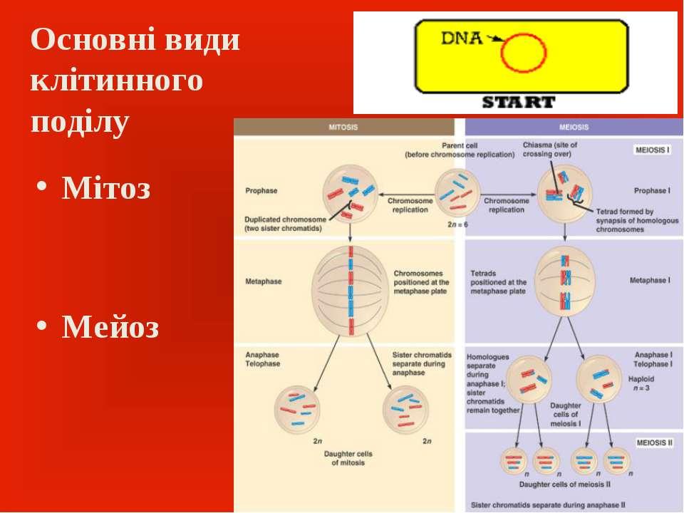 Основні види клітинного поділу Мітоз Мейоз
