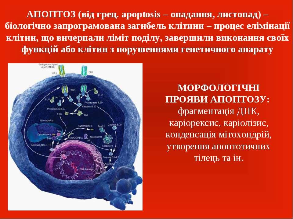 АПОПТОЗ (від грец. apoptosis – опадання, листопад) – біологічно запрограмован...