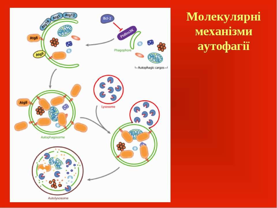 Молекулярні механізми аутофагії