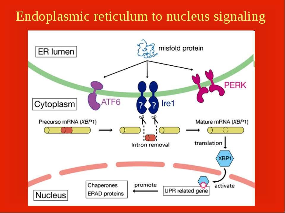 Endoplasmic reticulum to nucleus signaling