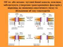 Об`єм- або механо- чутливі йонні канали, можливо, забезпечують утворення тран...