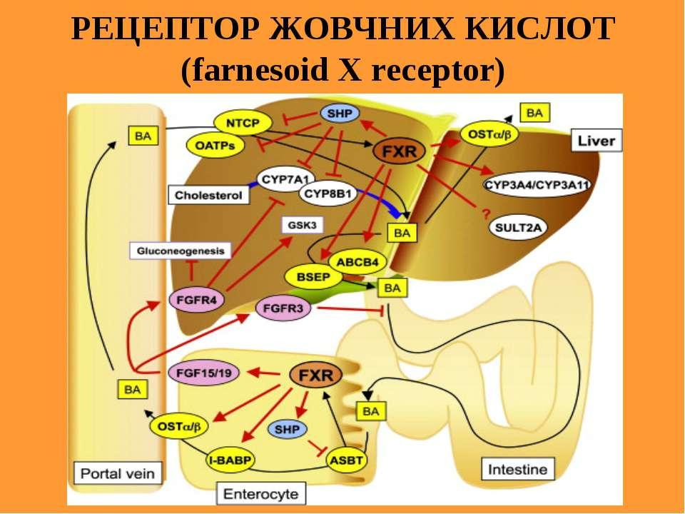 РЕЦЕПТОР ЖОВЧНИХ КИСЛОТ (farnesoid X receptor)
