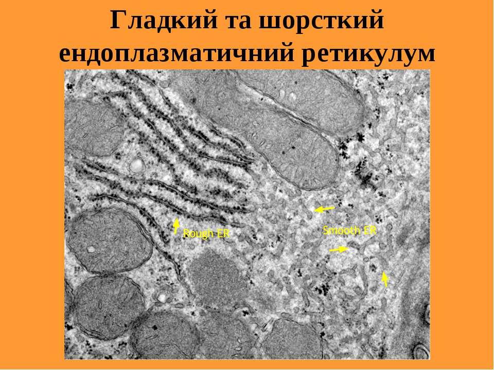 Гладкий та шорсткий ендоплазматичний ретикулум