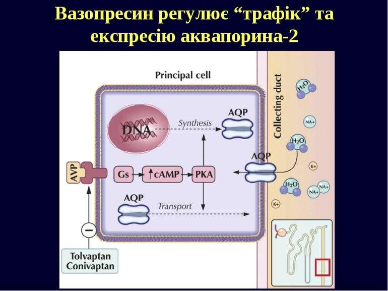 """Вазопресин регулює """"трафік"""" та експресію аквапорина-2"""