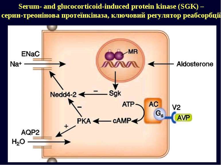 Serum- and glucocorticoid-induced protein kinase (SGK) – серин-треонінова про...