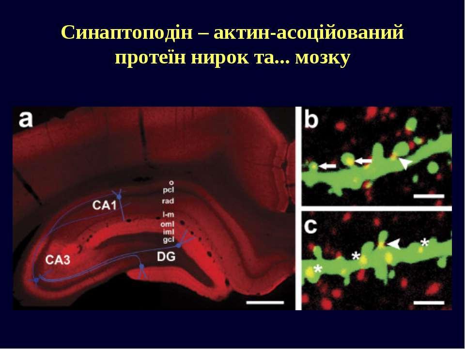 Синаптоподін – актин-асоційований протеїн нирок та... мозку